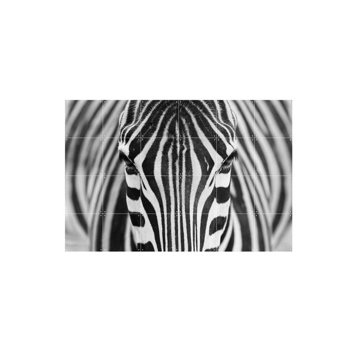 Zebra fra IXXI i 120 x 80 cm